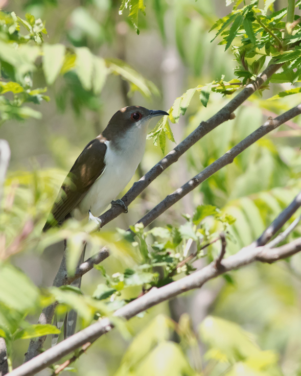 black-billed-cuckoo1_72ppi