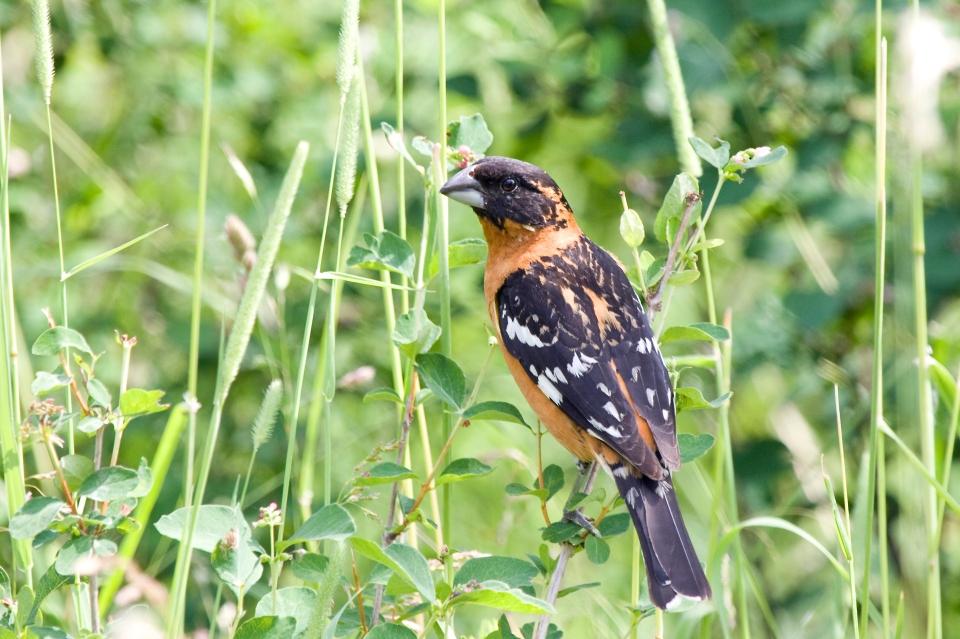 Black-headed GrosbeakMa06.17.09
