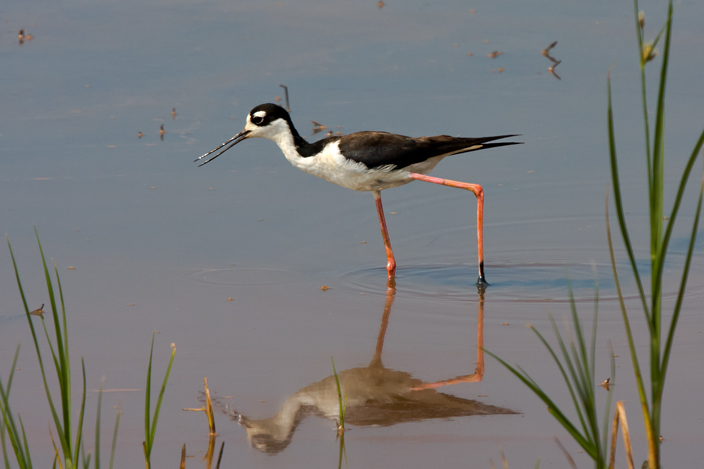 Black-necked StiltAdaa080109_72ppi