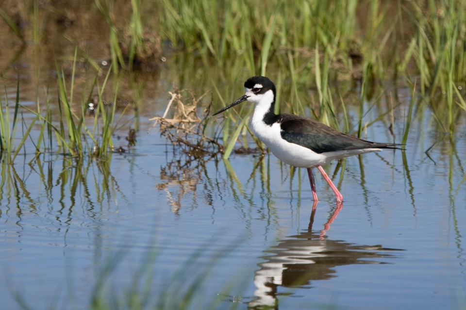 Black-necked Stiltd05.21.08