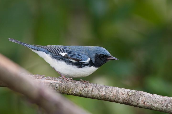 Black-throated Blue WarblerASYMa091611_72dpi