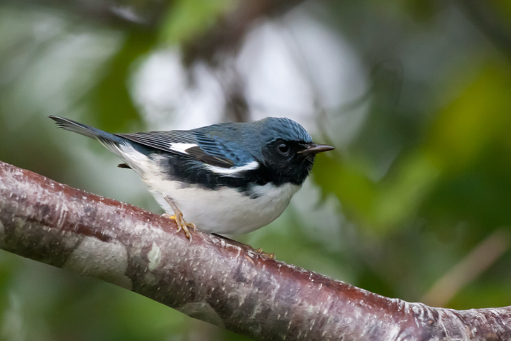 Black-throated Blue WarblerHYMa091811_72ppi