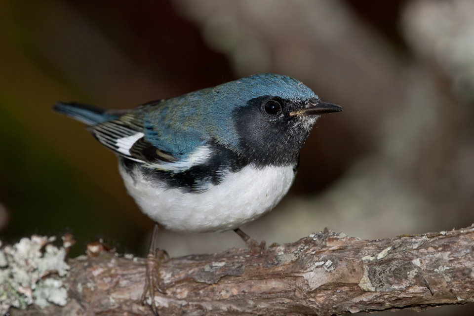 Black-throated Blue WarblerHYMa100714_72ppi