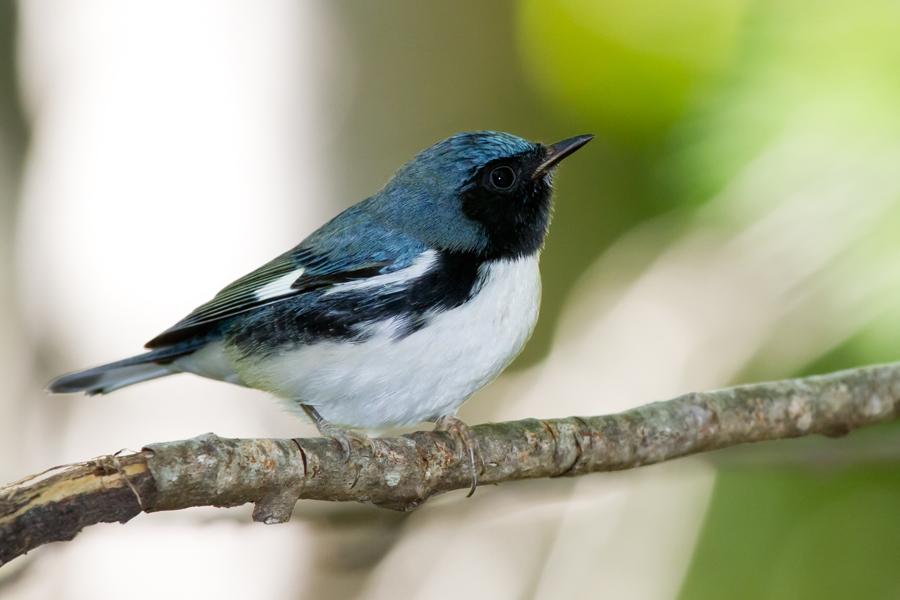 Black-throated Blue WarblerMa090312_72ppi