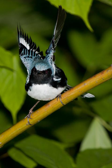 Black-throated Blue WarblerMaa060109