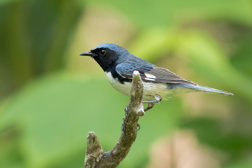 Black-throated Blue WarblerMb061015_72ppi