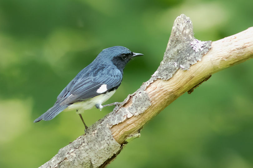 Black-throated Blue WarblerMc061015_72ppi