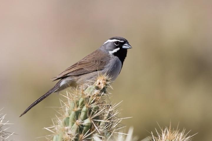 Black-throated SparrowMa021110_72ppi