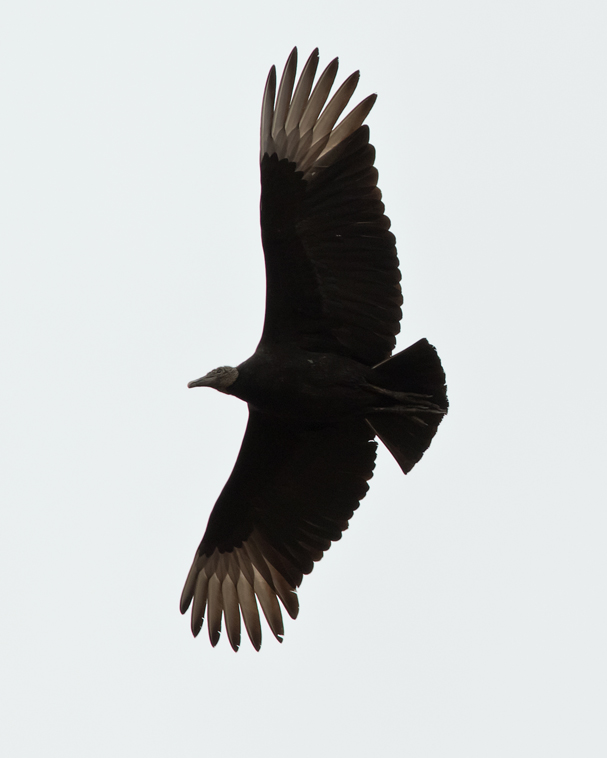Black Vulturea032115_72ppi