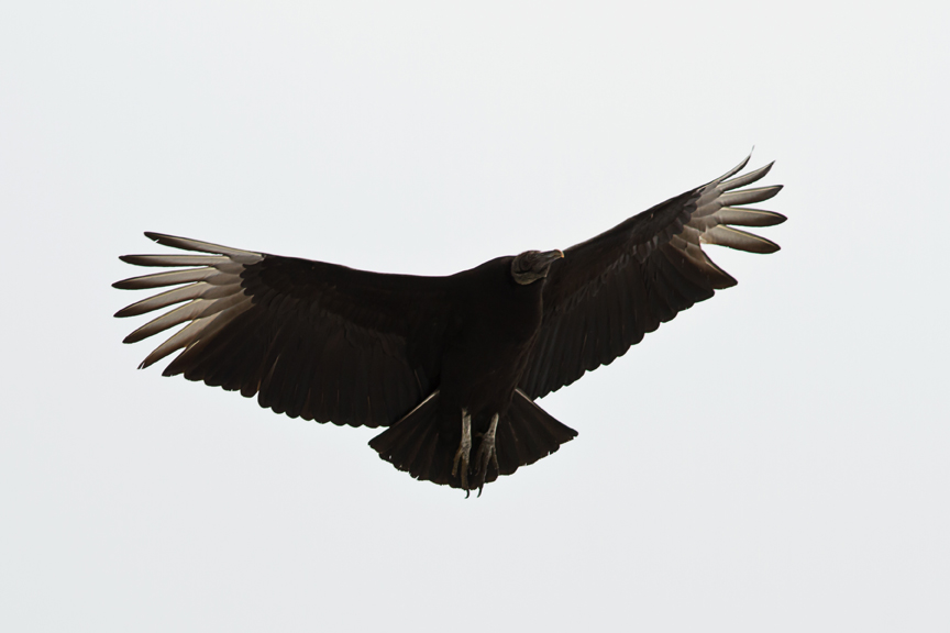 Black Vultureb031814_72ppi
