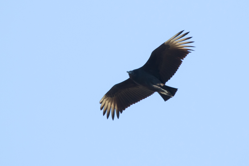 Black Vultureb110912_72ppi