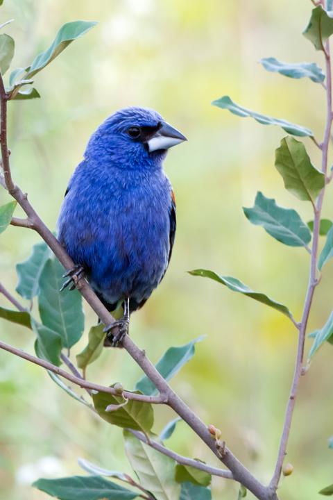 Blue GrosbeakMe080412_72ppi