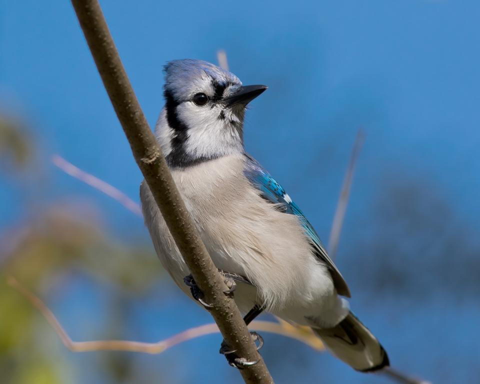Blue Jay1_72ppi