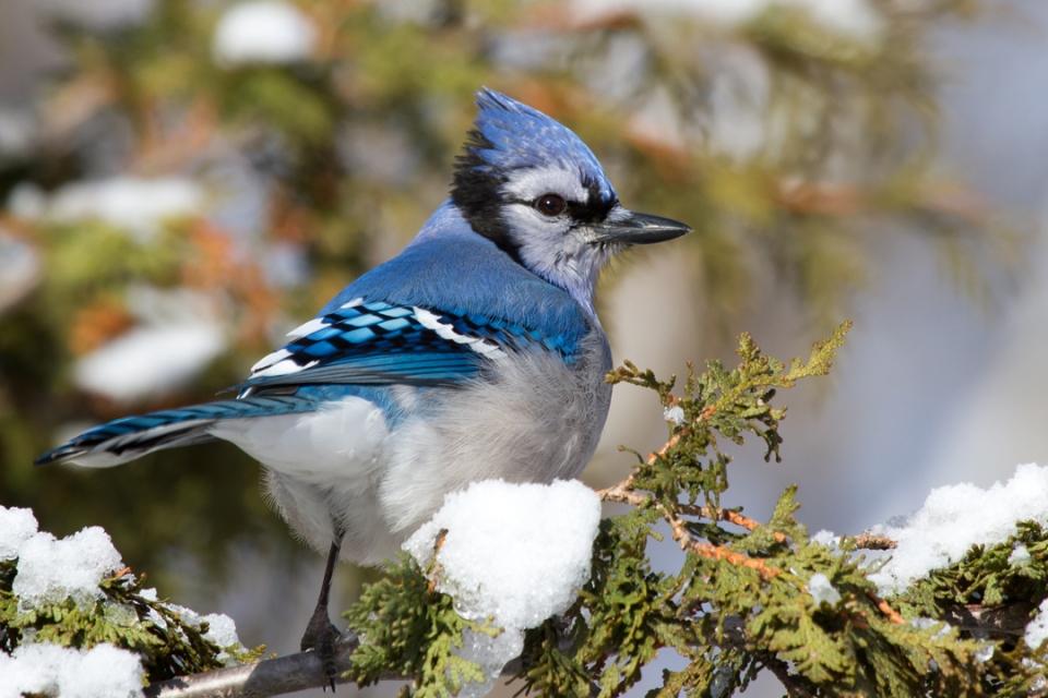 Blue Jaya122512_72ppi