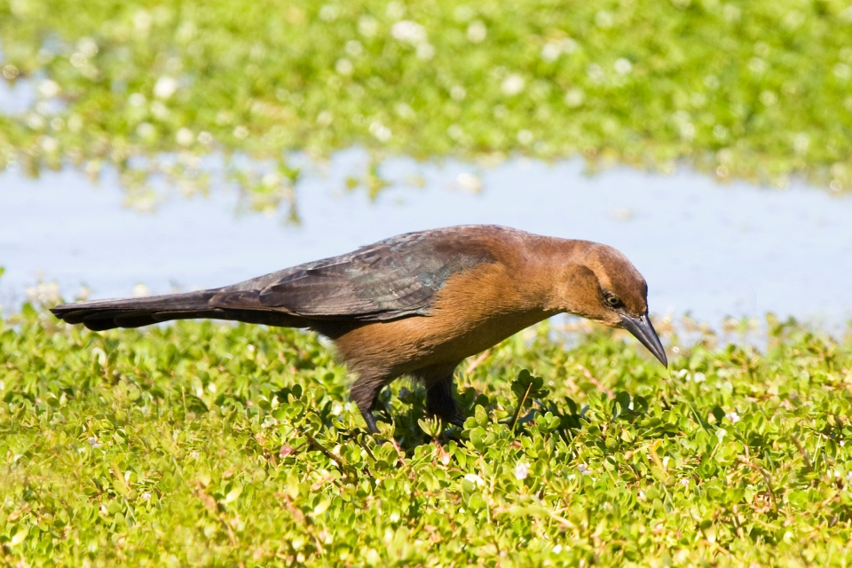 Boat-tailed GrackleFb102009