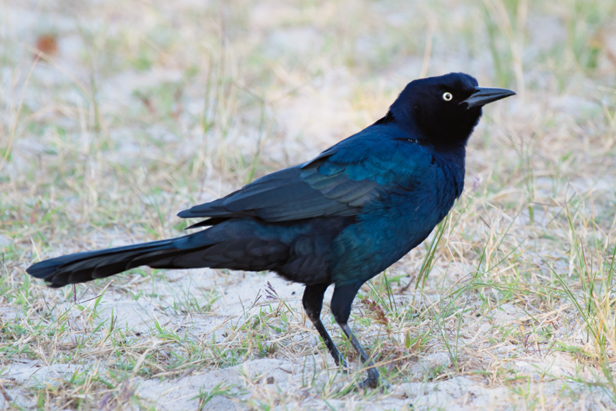 Boat-tailed GrackleMa101208_72ppi