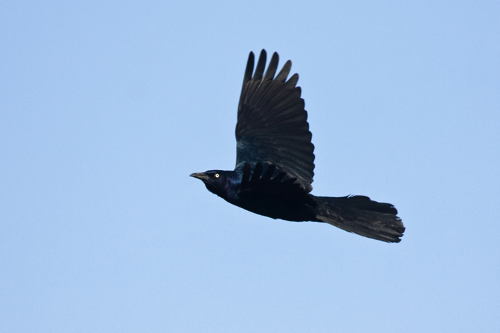 boat-tailed-gracklemb012310_72ppi
