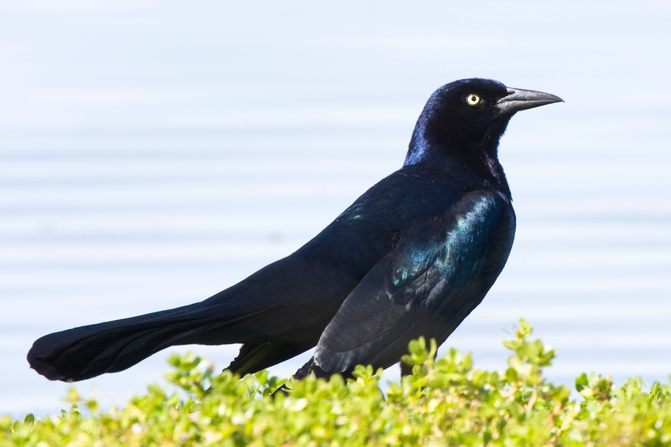 Boat-tailed GrackleMf102009
