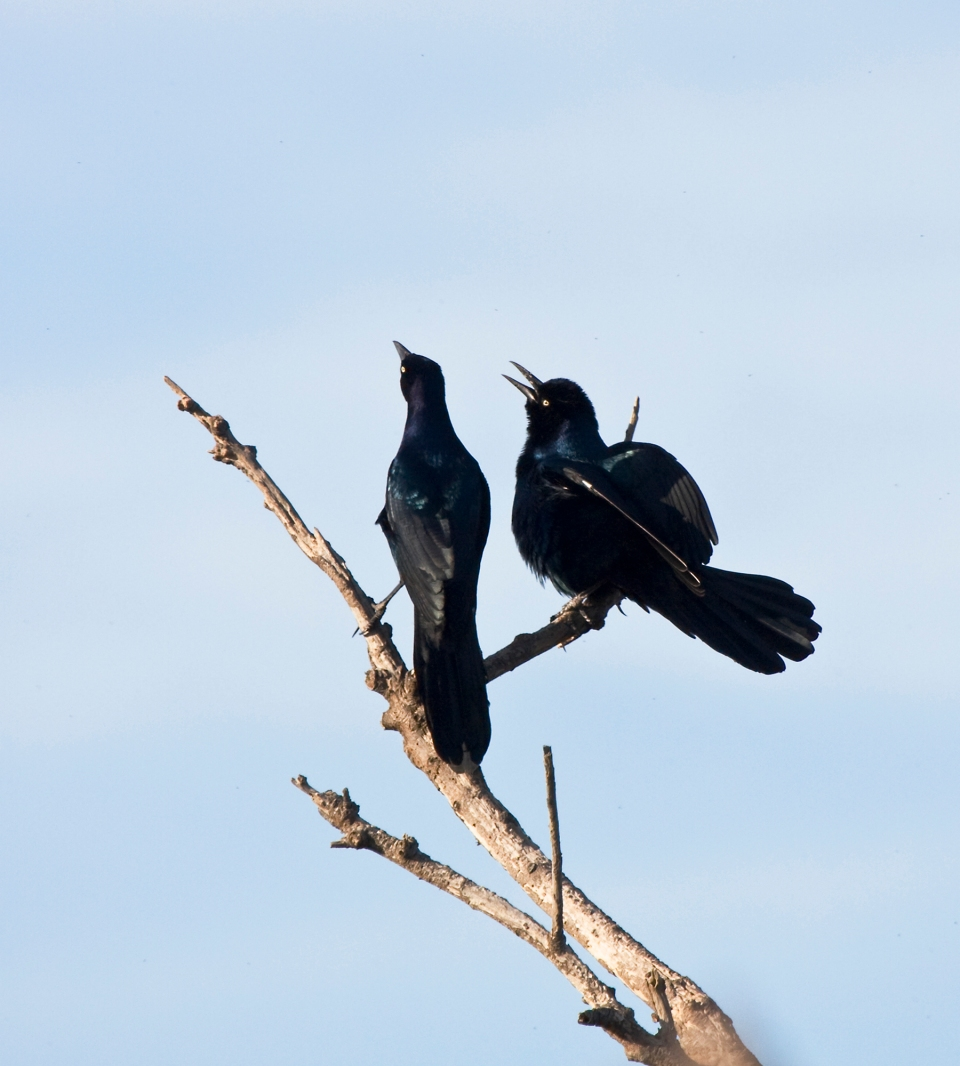 Boat-tailed GrackleMs102309