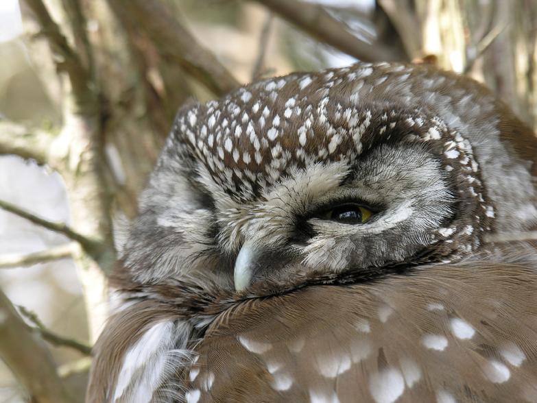 Boreal owla05.04.05_72ppi