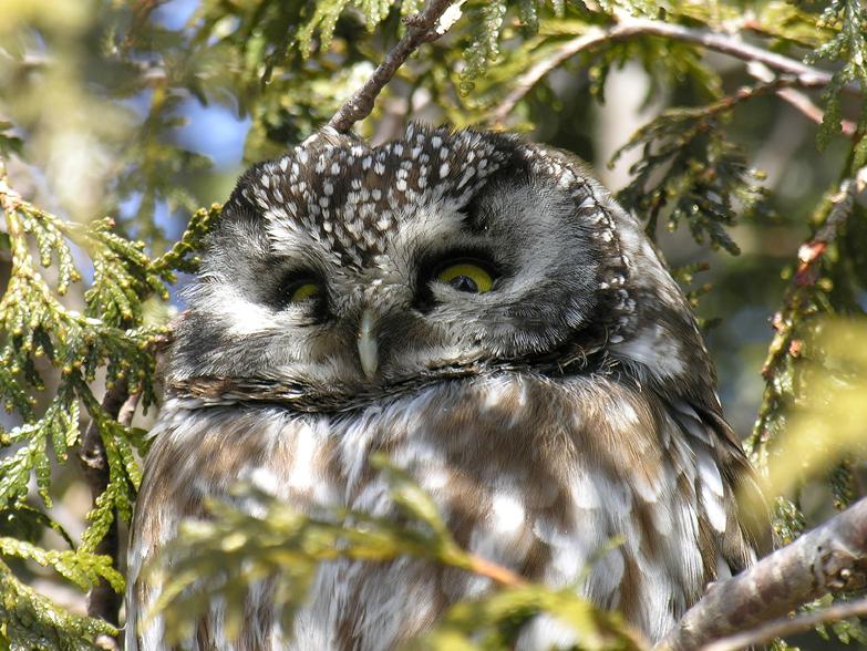 Boreal owla20.02.05_72ppi