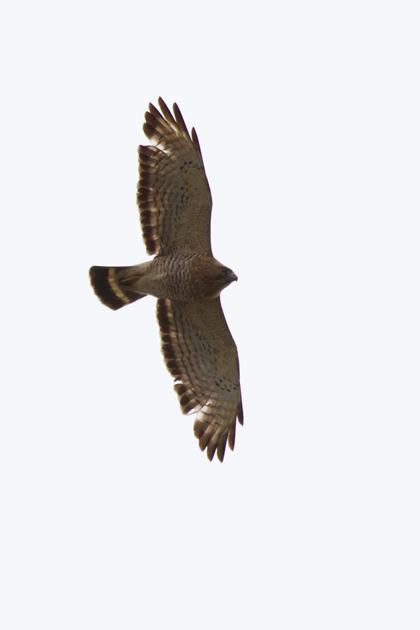 Broad-winged Hawka041213_72ppi
