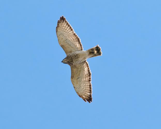 Broad-winged HawkAd1_72ppi