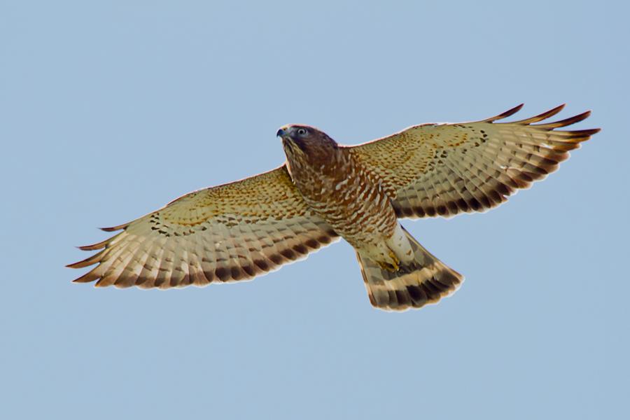 Broad-winged HawkAda041413_72ppi