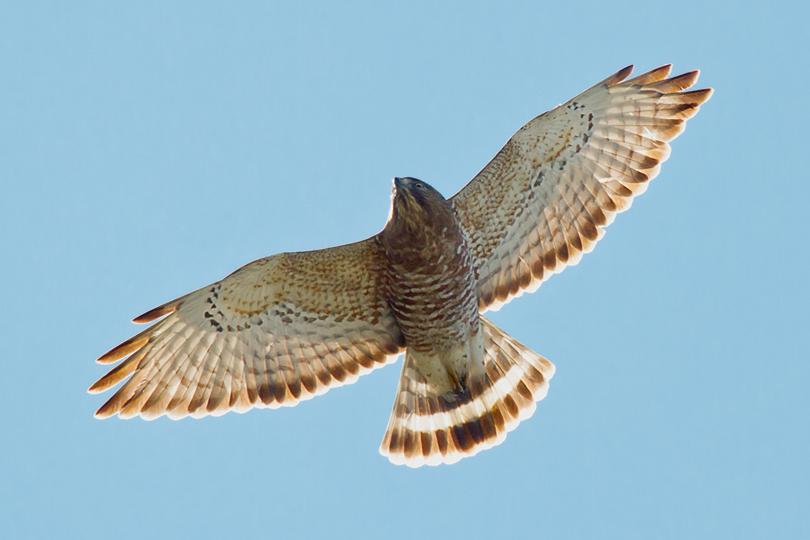 Broad-winged HawkAde041413_72ppi