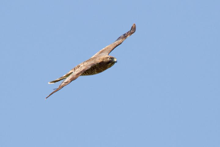 Broad-winged Hawkb041413_72ppi