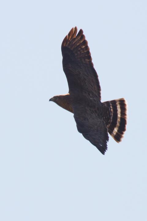 Broad-winged Hawkd041413_72ppi