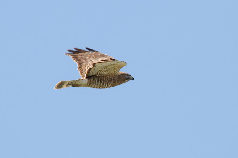 Broad-winged Hawke041413_72ppi
