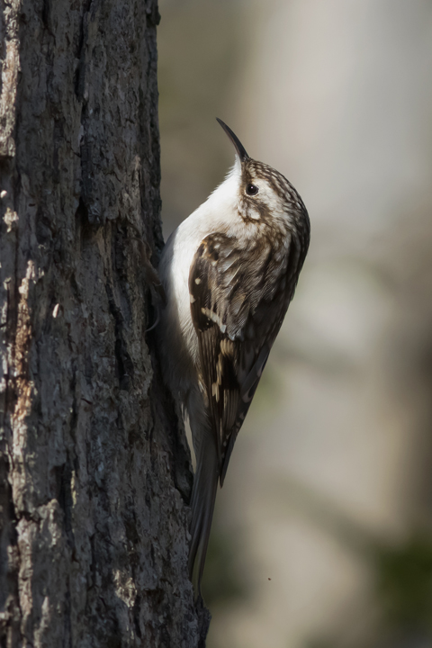 Brown Creeper1_72ppi