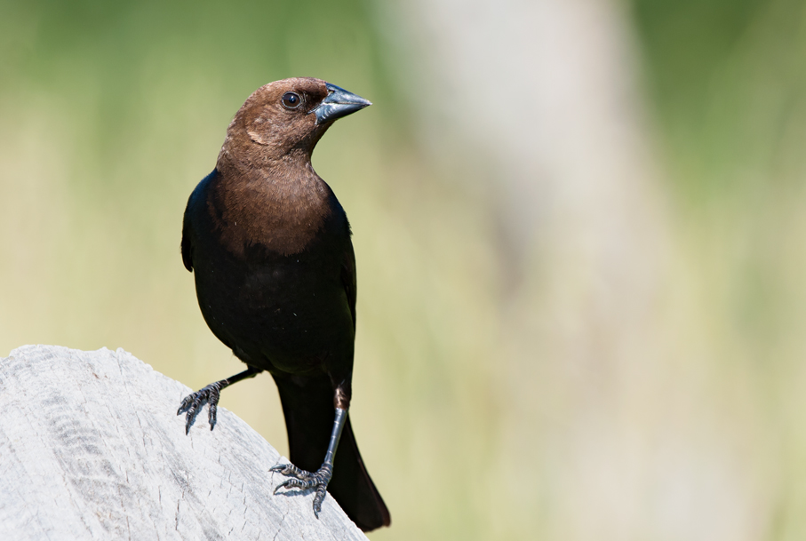 Brown-headed CowbirdMc060709_72ppi