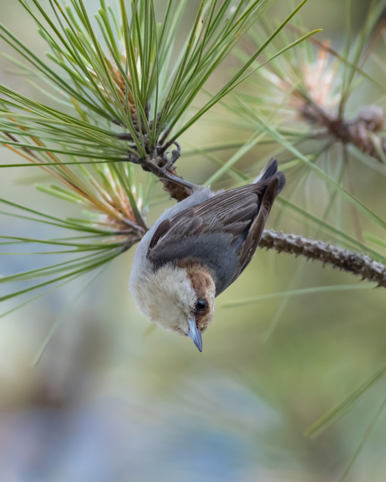 Brown-headed Nuthatch1_72ppi