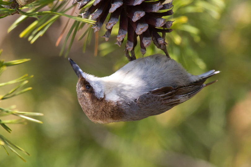 Brown-headed Nuthatcha042813_72ppi