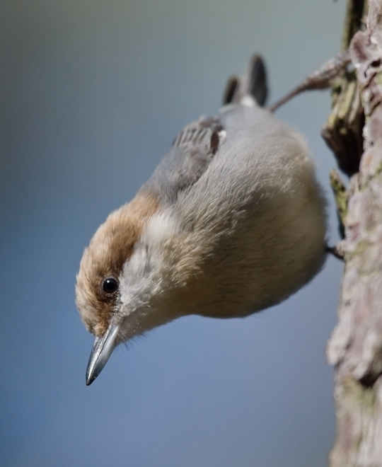 Brown-headed Nuthatchb012310_72ppi