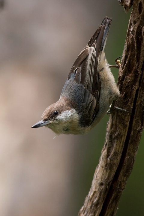 Brown-headed Nuthatchb081310_72ppi