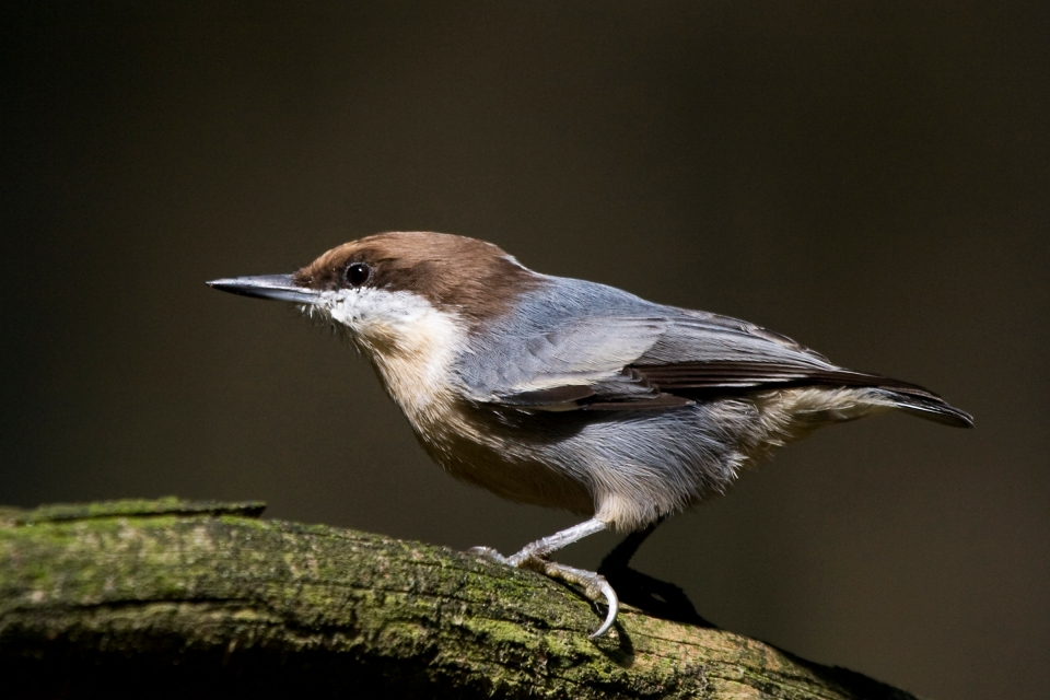 Brown-headed Nuthatchb09.22