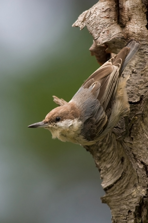 Brown-headed Nuthatchd081310_72ppi