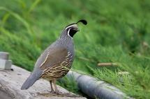 california-quailmd06-16-09