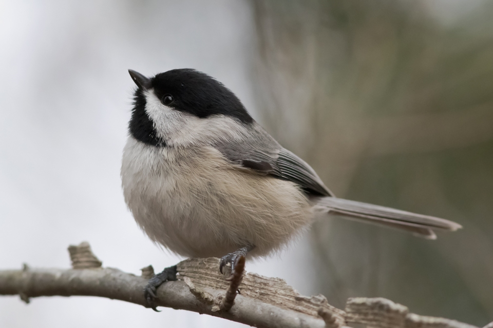 Carolina Chickadee1_72ppi