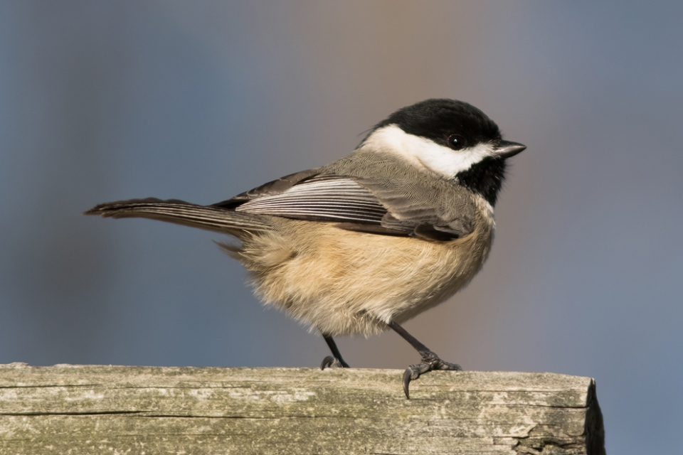 Carolina Chickadee2_72ppi
