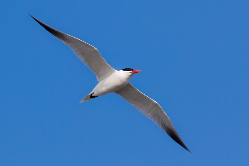 Caspian Tern1_72ppi
