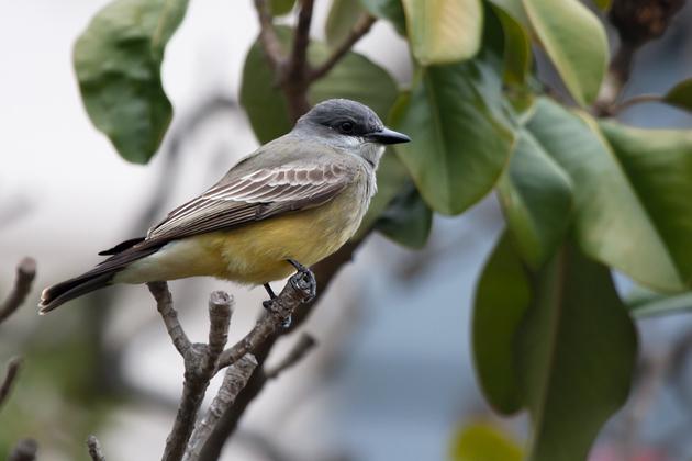 cassins-kingbirdmd020510_72ppi