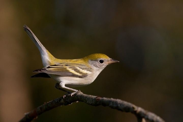 Chestnut-sided Warblerb091311_72ppi