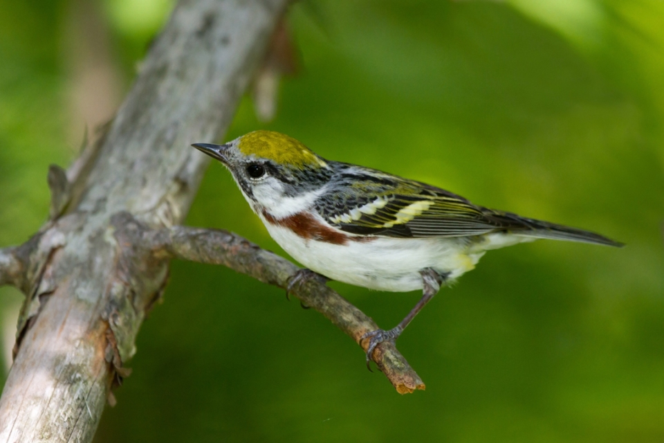 Chestnut-sided WarblerFa060912_72ppi