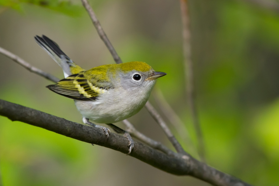 Chestnut-sided WarblerHYa080512_72ppi