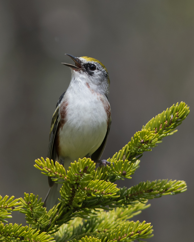Chestnut-sided WarblerSYMa052716_72ppi