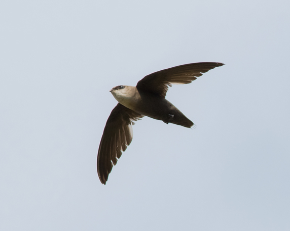 Chimney Swift5_72ppi